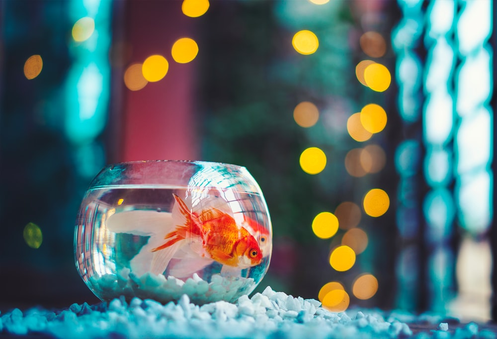 red and white fish in fish tank