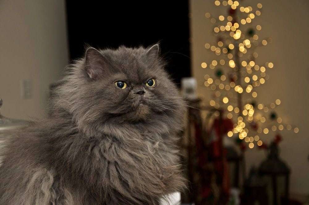 Gray Persian Cat On Brown Wooden Table Photo Free Animal Image On Unsplash