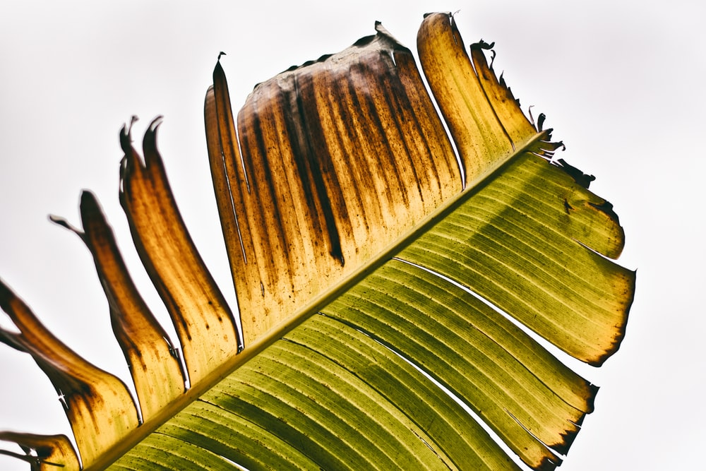 green banana leaves during daytime