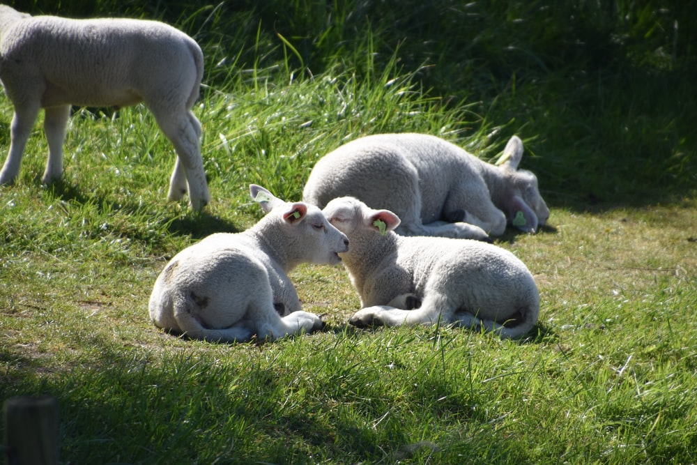 two white animals lying on green grass during daytime