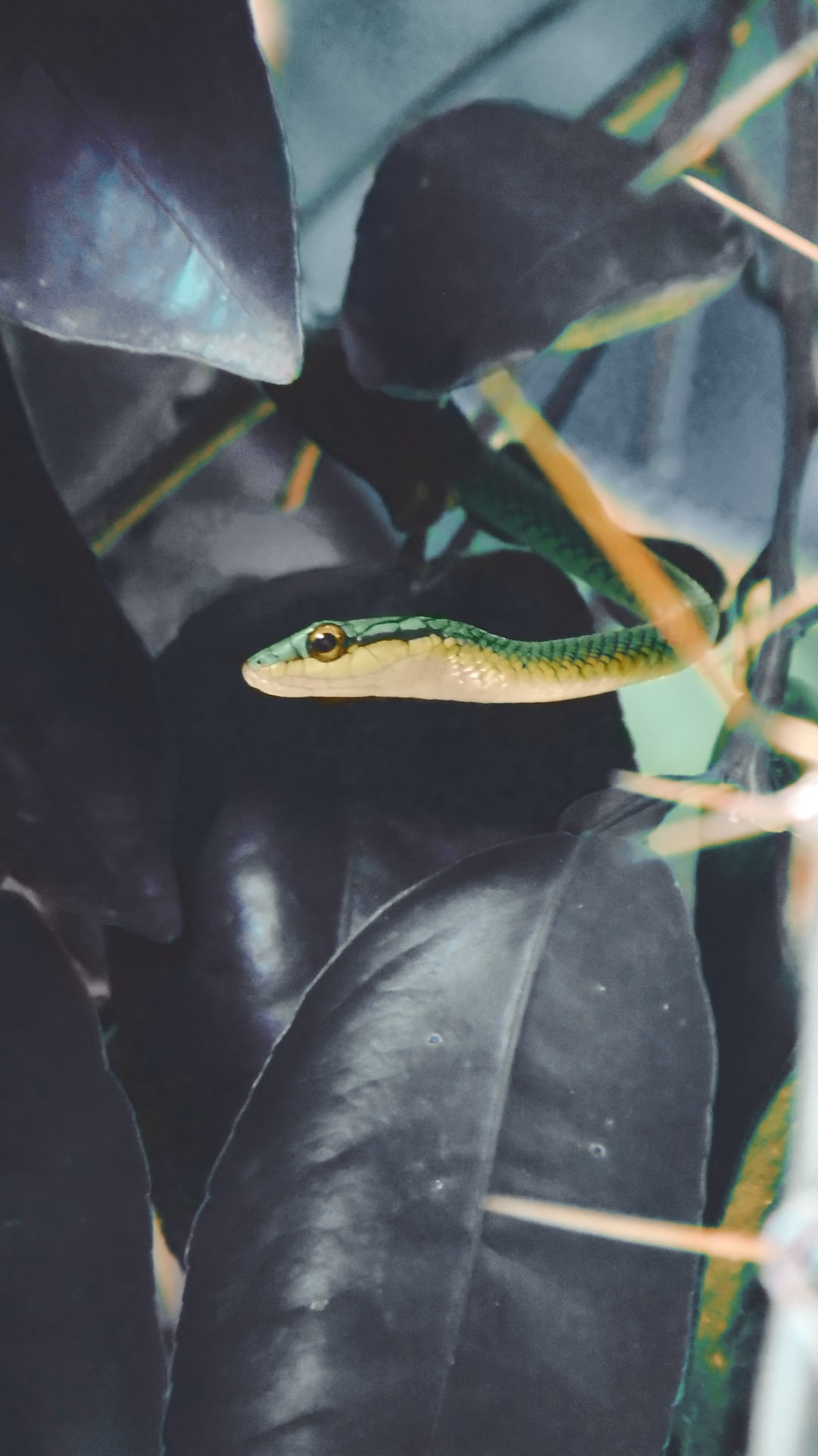 Leptophis ahaetulla, commonly known as the Lora or parrot snake, is a species of medium-sized slender snake of the family Colubridae. It is endemic to Central America and northern South America.