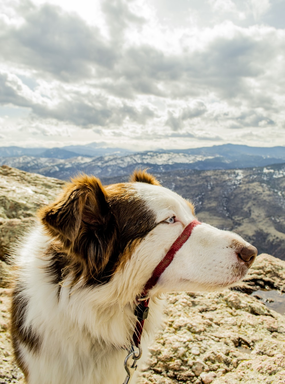 white and brown border collie on mountain during daytime