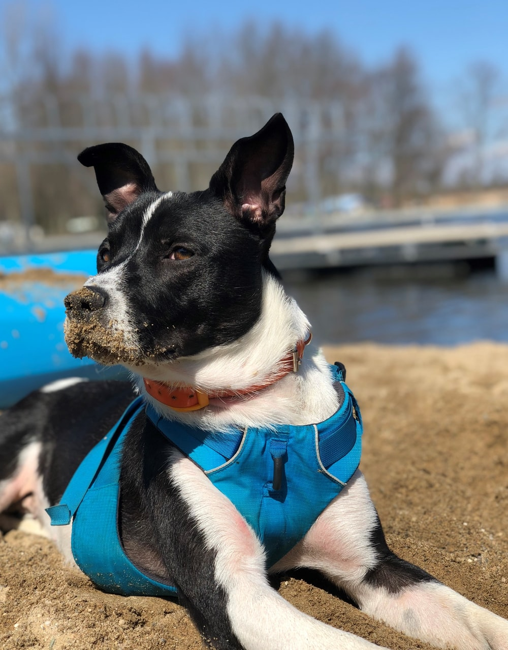 black and white short coat small dog with blue collar sitting on brown sand during daytime