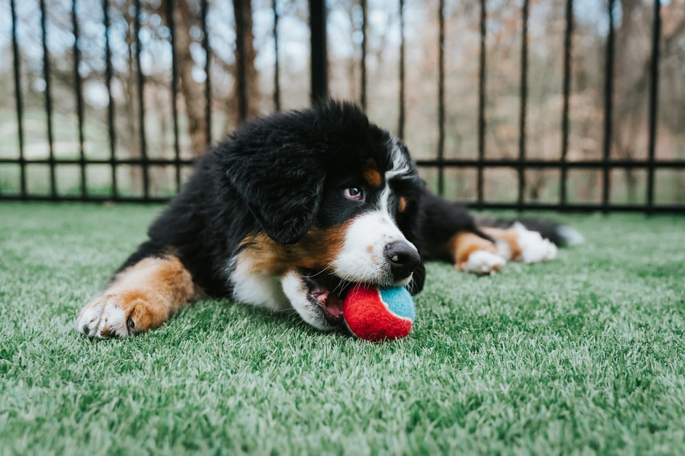black white and brown dog biting red ball on green grass during daytime