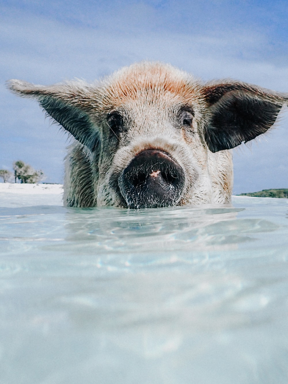 brown and white pig in water