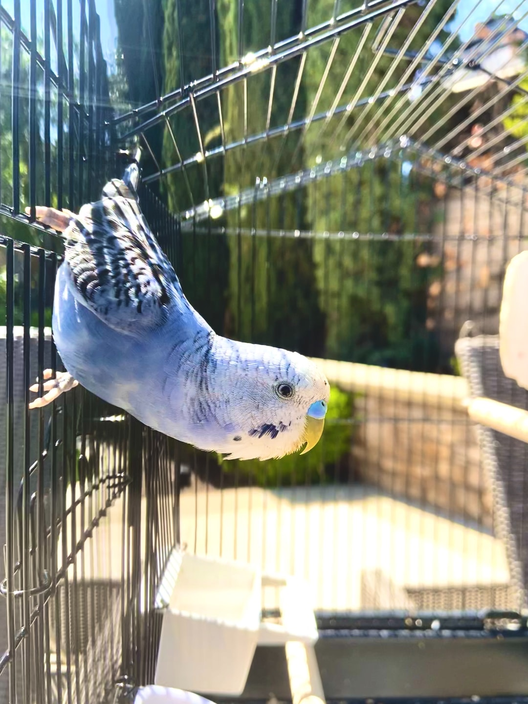 This is my budgie. He is outside enjoying the sun.