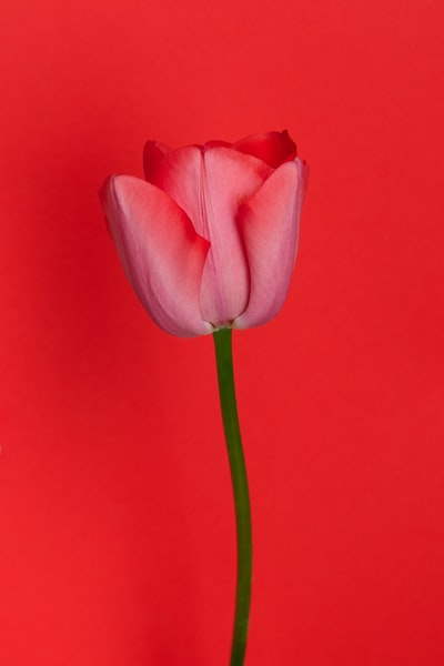 pink tulip in close up photography