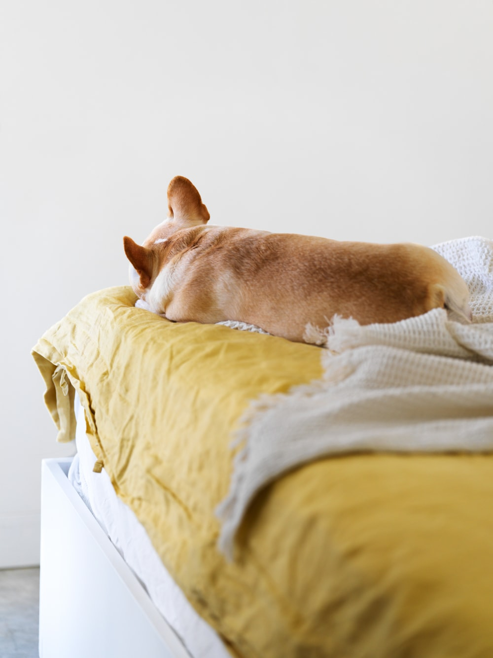 brown short coated dog lying on white bed