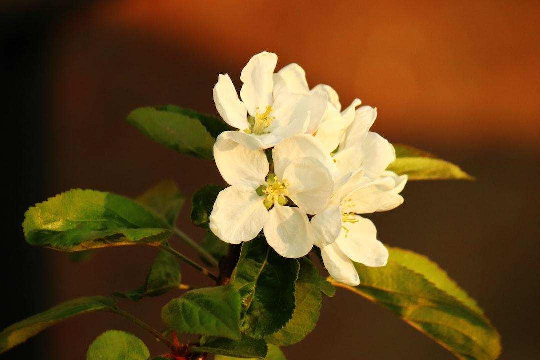 Appel bloesem nog even genieten van de lente