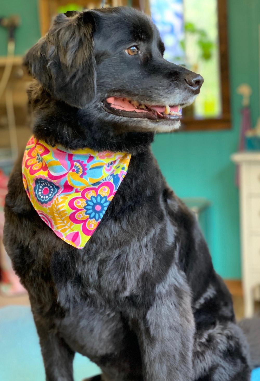 black short coated large dog wearing orange and white floral scarf