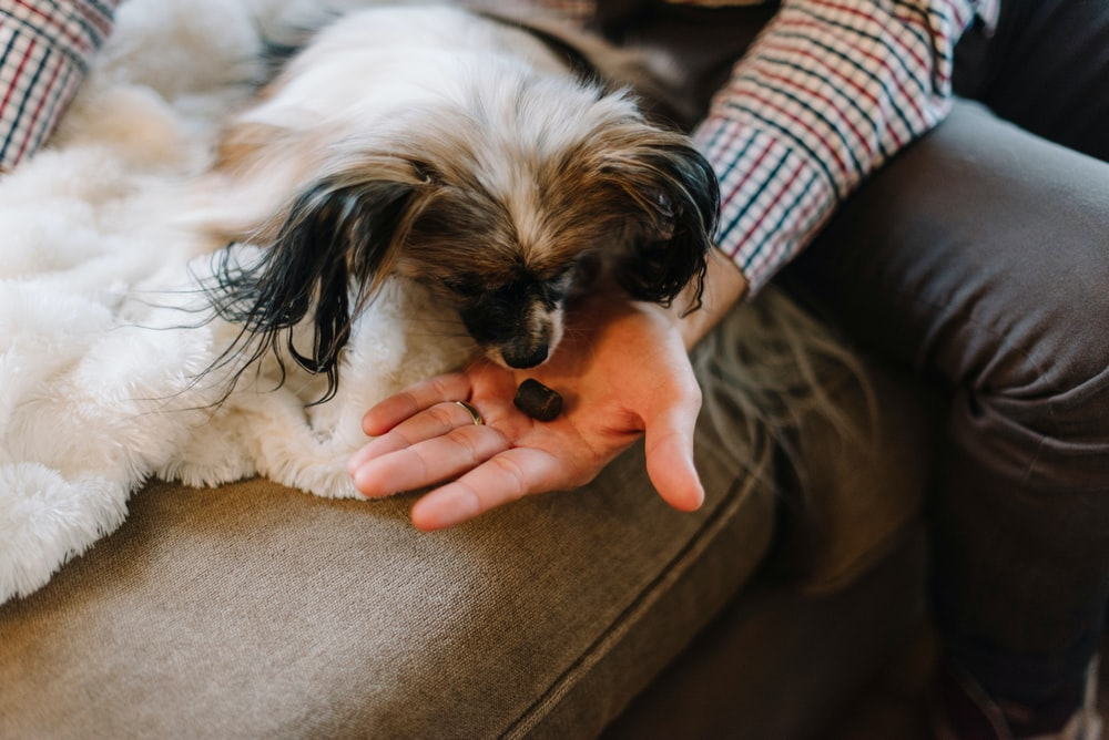 person holding white and brown long coated small dog
