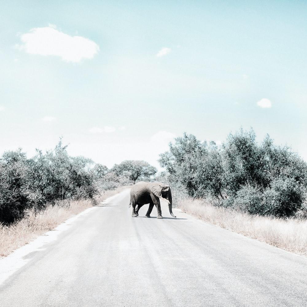 gray elephant on gray asphalt road during daytime