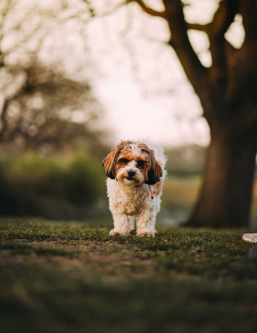 white and brown long coated small dog on green grass during daytime