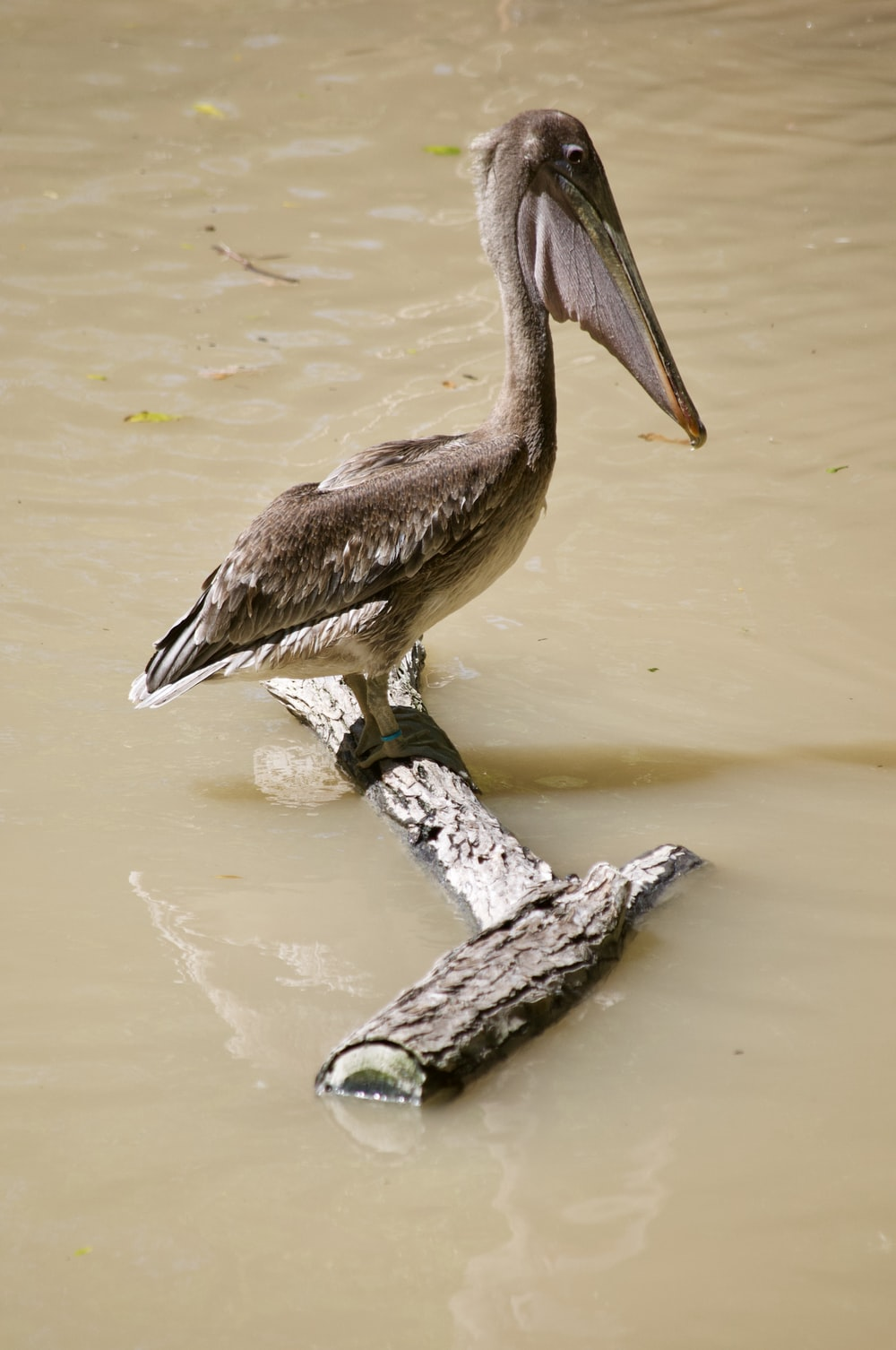 brown pelican on brown tree branch on water during daytime