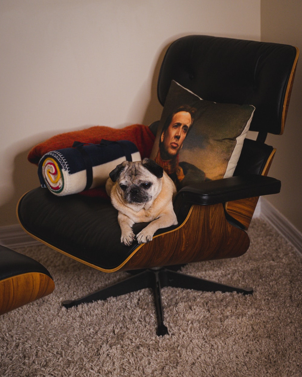 fawn pug on black and brown padded armchair
