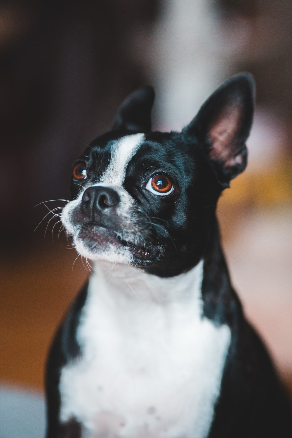 black and white boston terrier