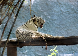 white and black tiger on brown wooden table