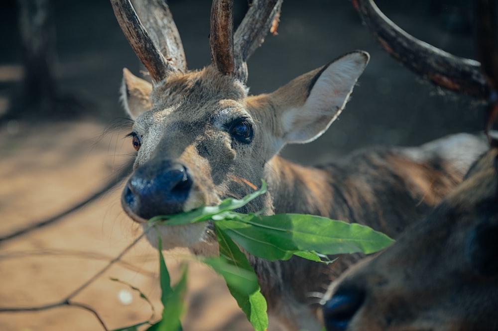 brown deer eating green leaves