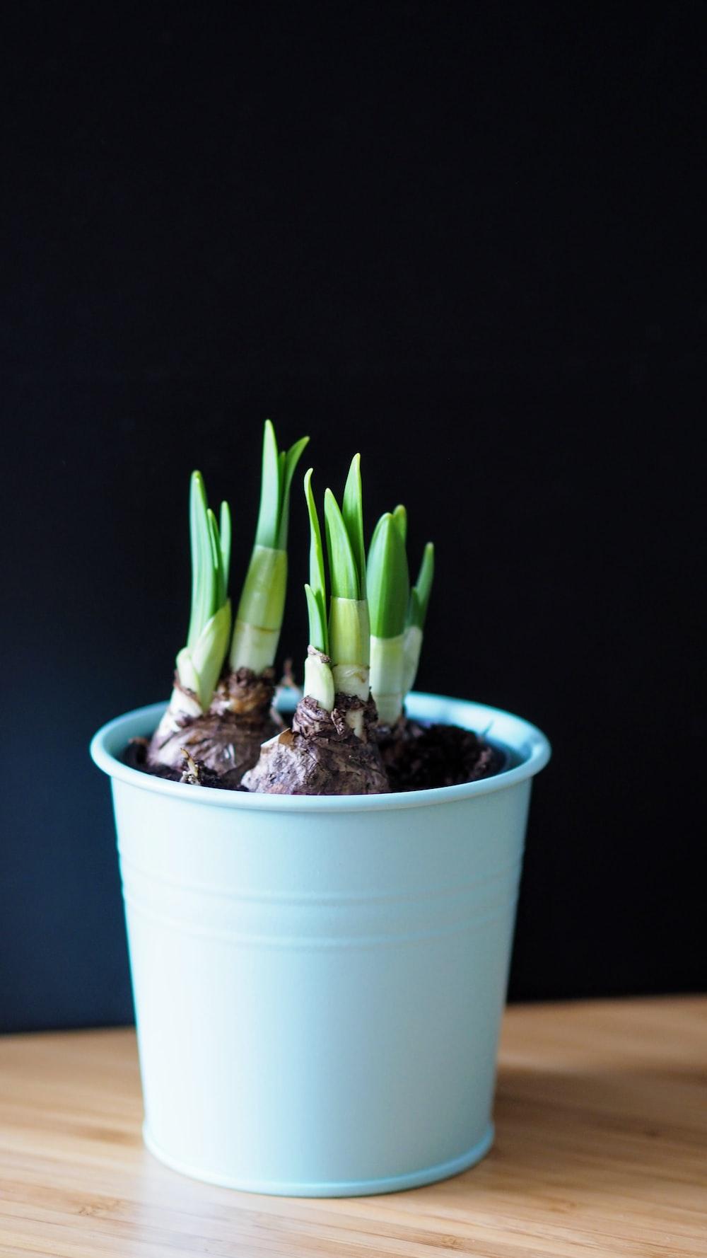 green aloe vera plant in blue pot