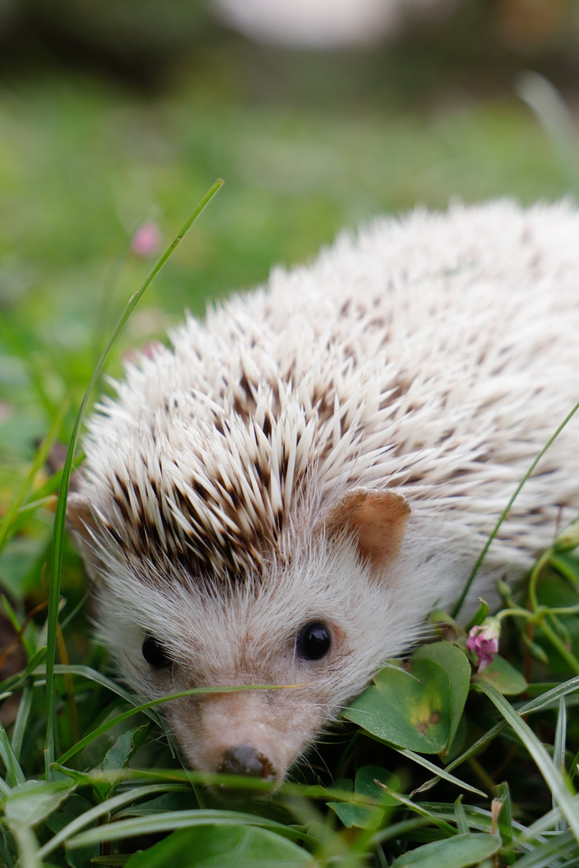 white hedgehog on green grass during daytime