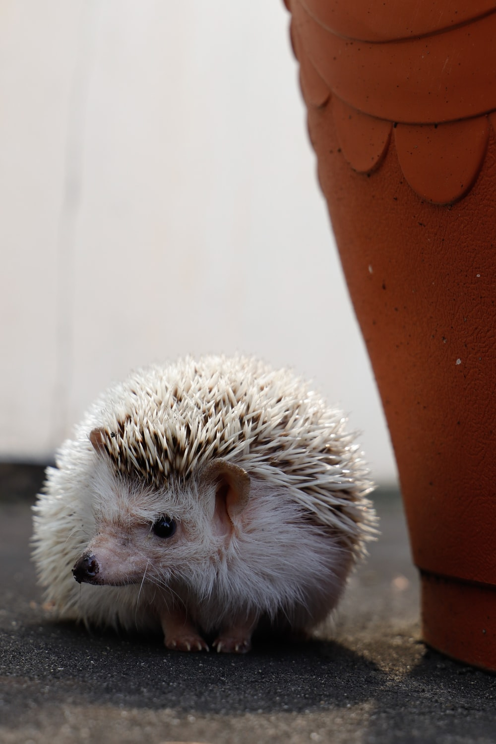 white hedgehog on brown wooden surface