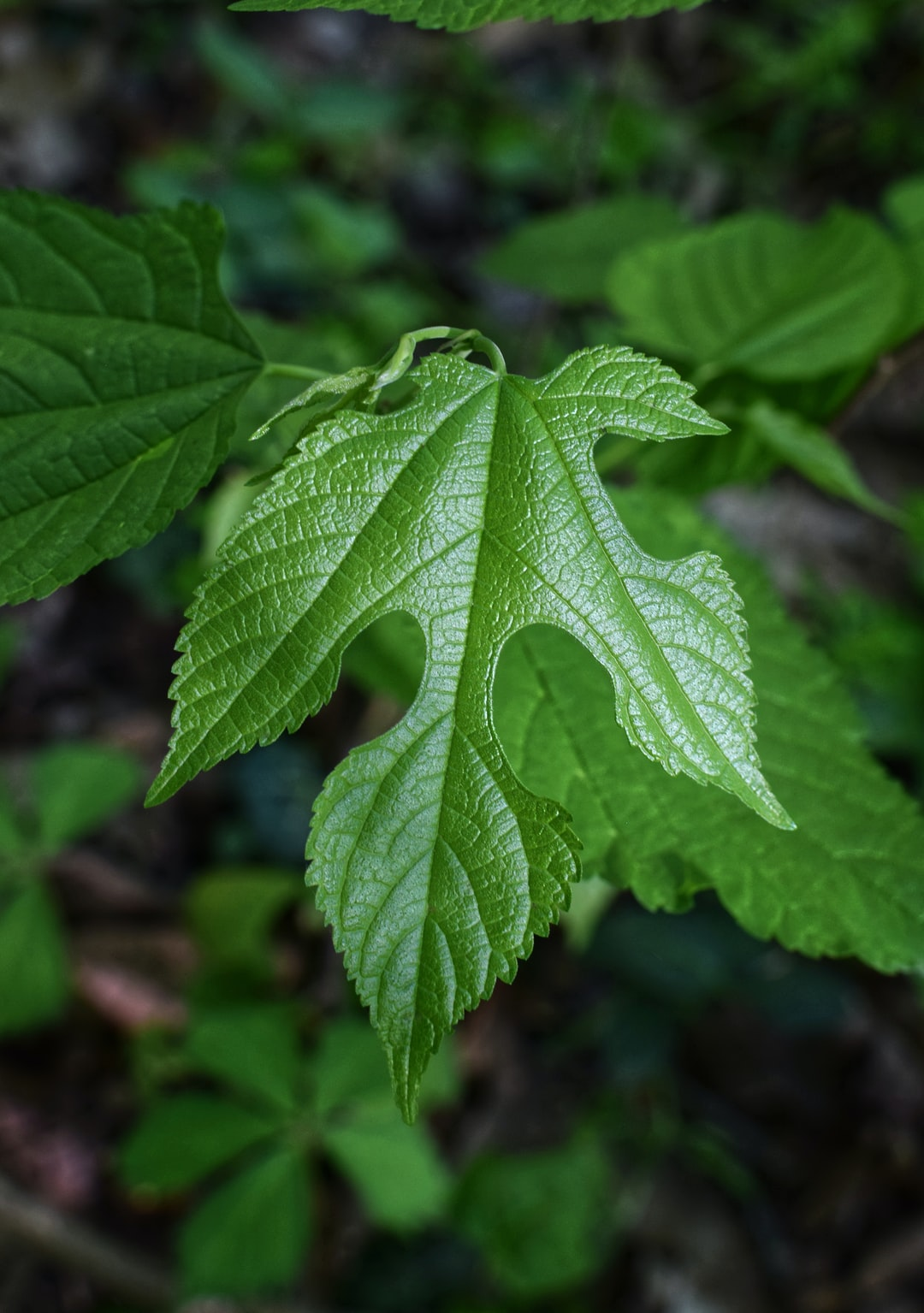 This is a sassafras leaf ... the leaf shape is variable and you will see several different ones on a single plant. Sassafras is medicinal and its root is the essential ingredient in both teas and root beer. The morning sun really brought out the texture of the leaf!
