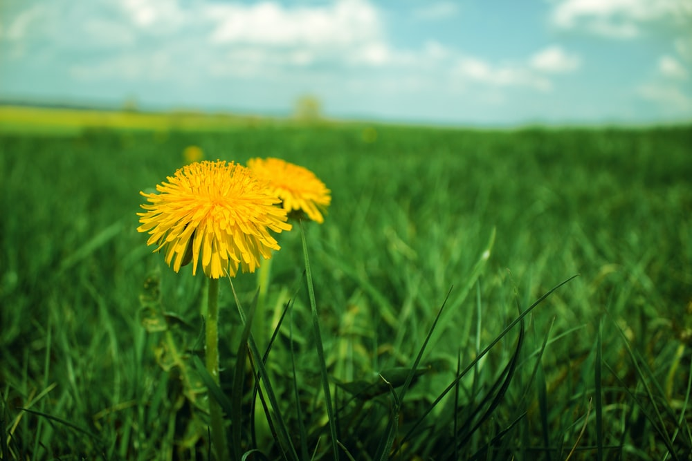 yellow flower in green grass field during daytime