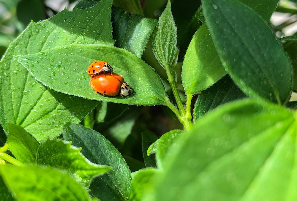 red and black ladybug on green leaf