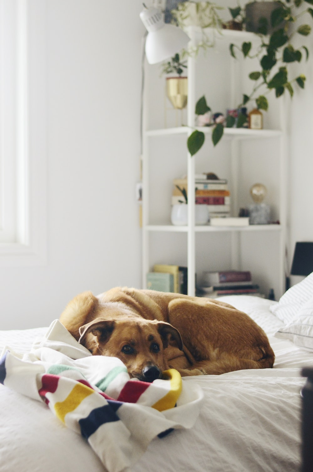 brown short coated dog lying on bed