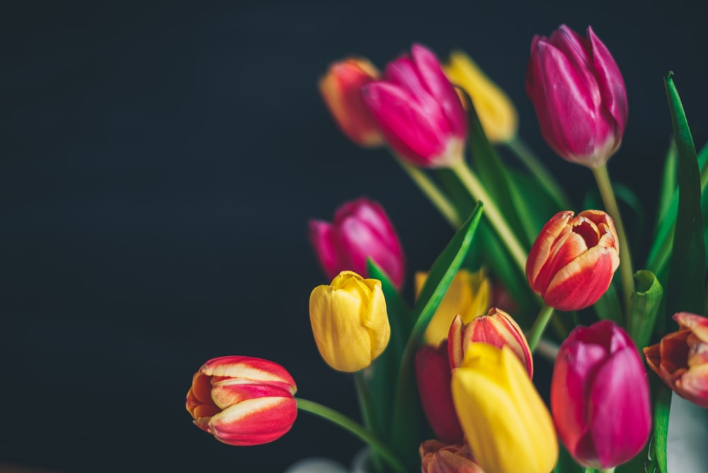 pink and yellow tulips in bloom