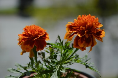 orange flower in tilt shift lens north macedonia teams background