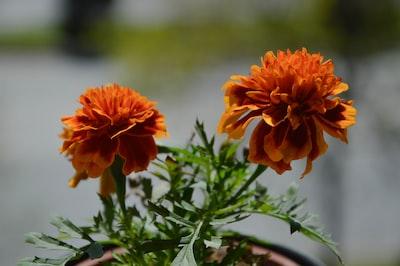 orange flower in tilt shift lens north macedonia zoom background