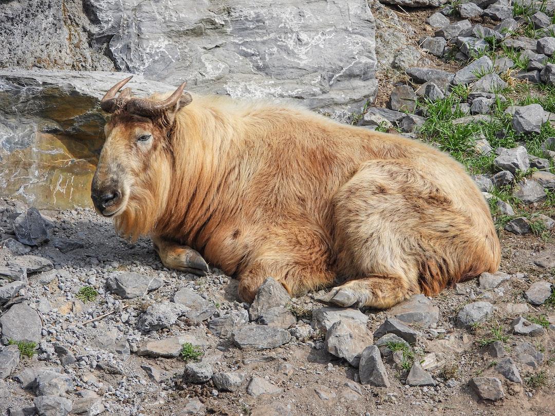 Takin (gnu goat) resting on a rock bottom.