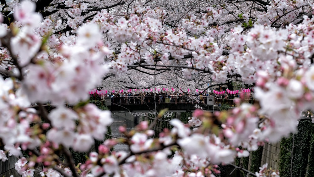 pink cherry blossom flowers during daytime
