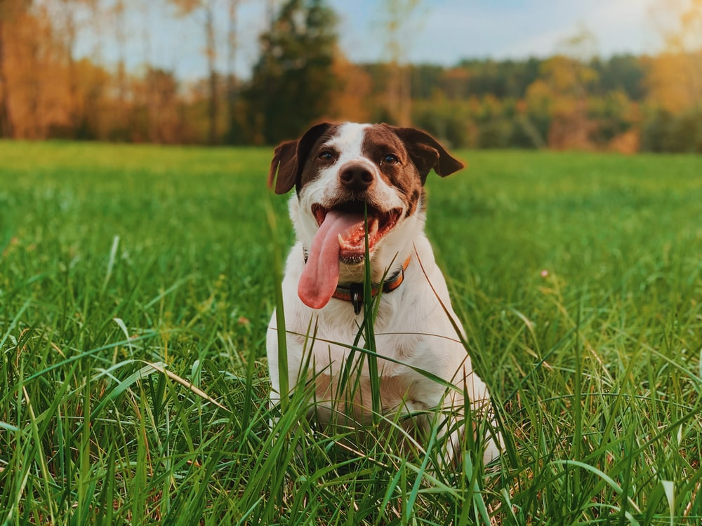 white and brown short coated dog on green grass field during daytime