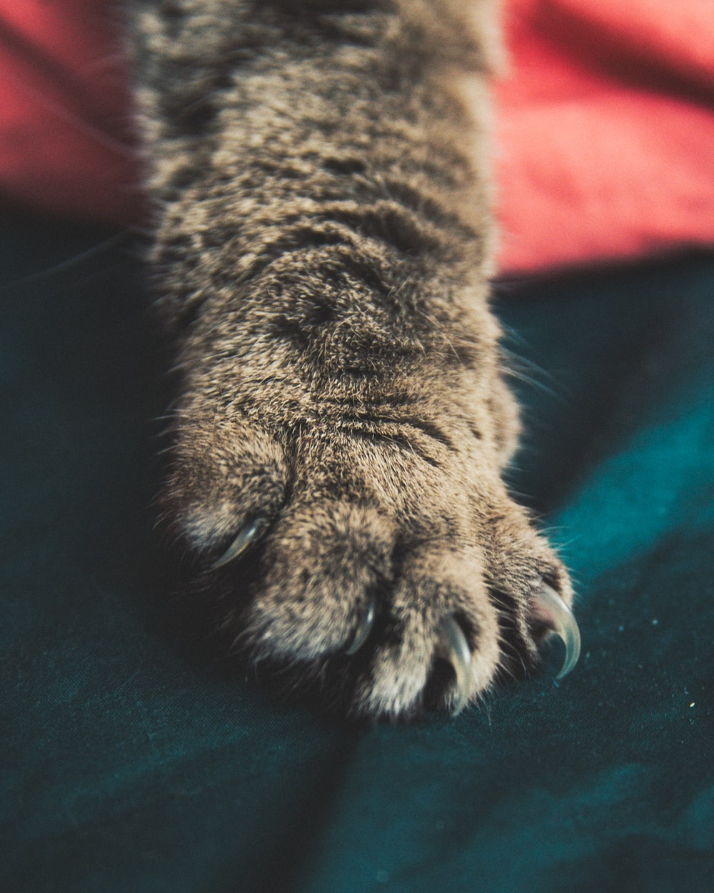 brown tabby cat paw on green textile