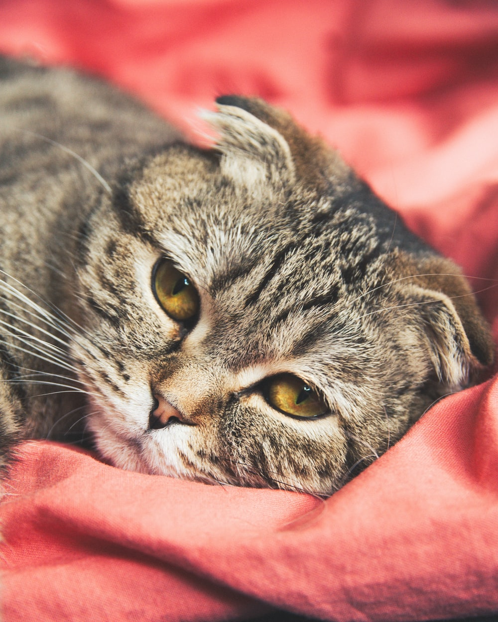 silver tabby cat on pink textile
