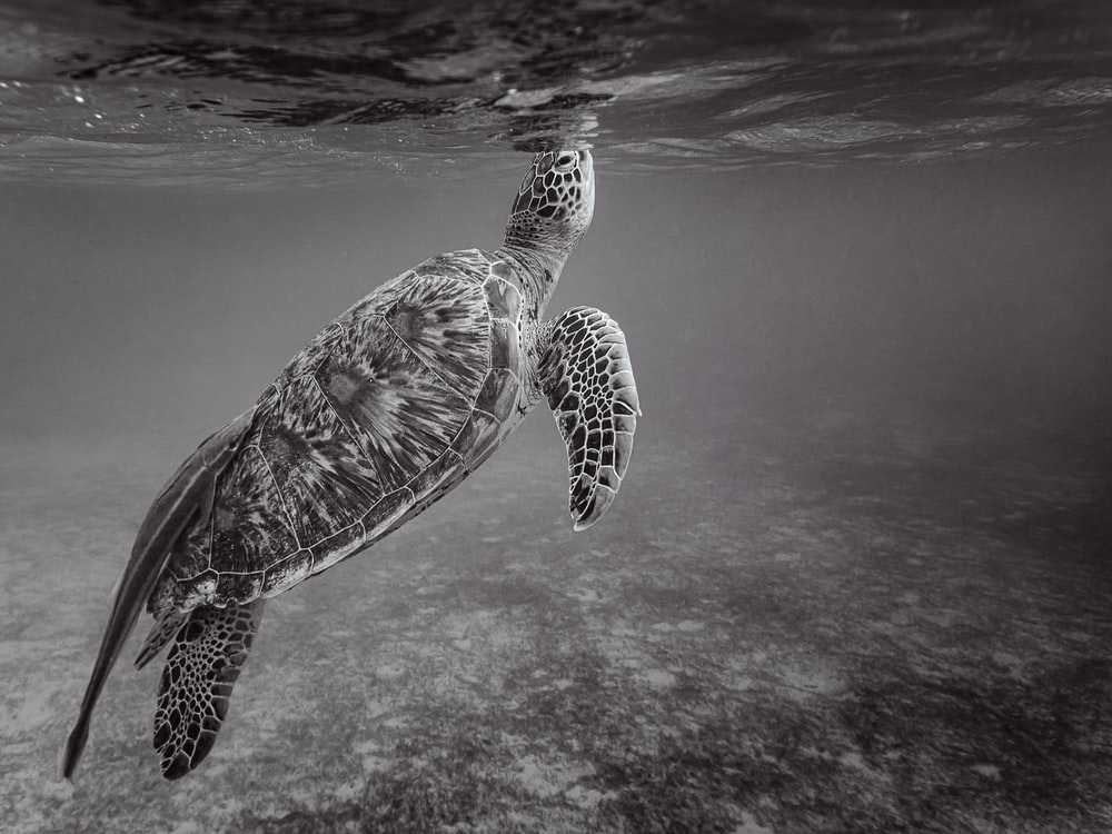 black and white sea turtle in water