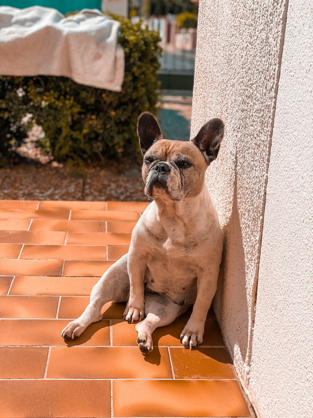 fawn pug lying on brick wall during daytime