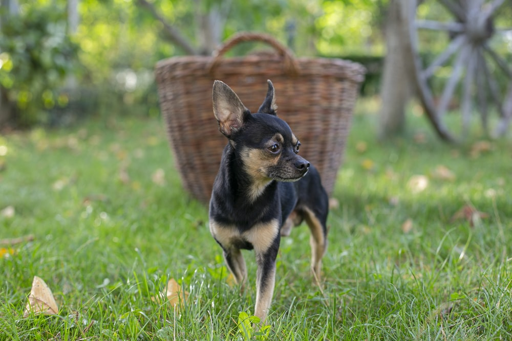 black and brown chihuahua on green grass during daytime