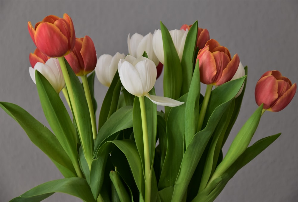 red and white tulips in white vase