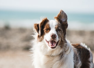 white and brown long coat large dog