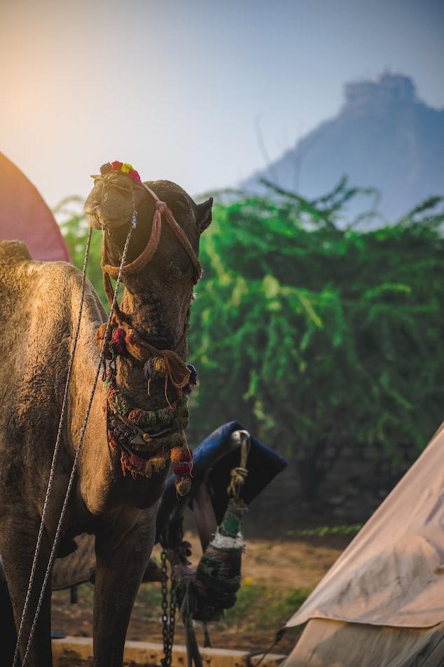 Camel ride at Pushakr