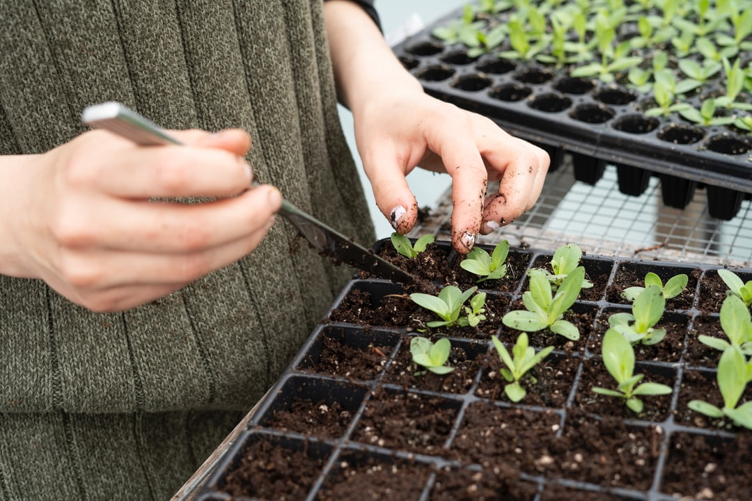 Potting up lisianthus seedlings in the greenhouse in early spring at Pasture Song Farm in Pottstown, PA  zoeschaeffer.com instagram.com/dirtjoy pasturesongfarm.com
