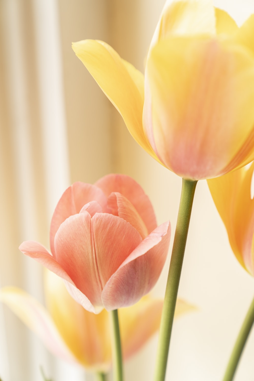 yellow and red tulip in bloom close up photo