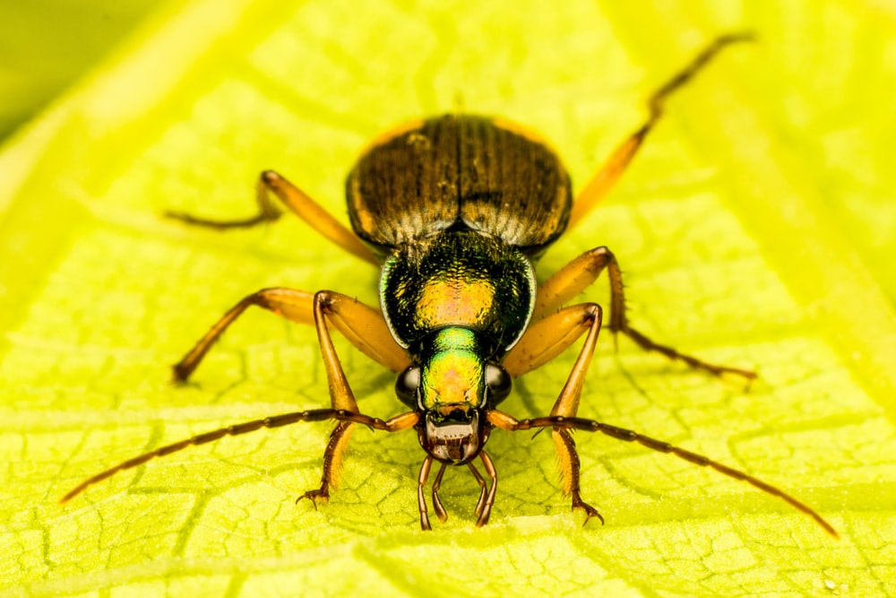 green and black bug on yellow leaf