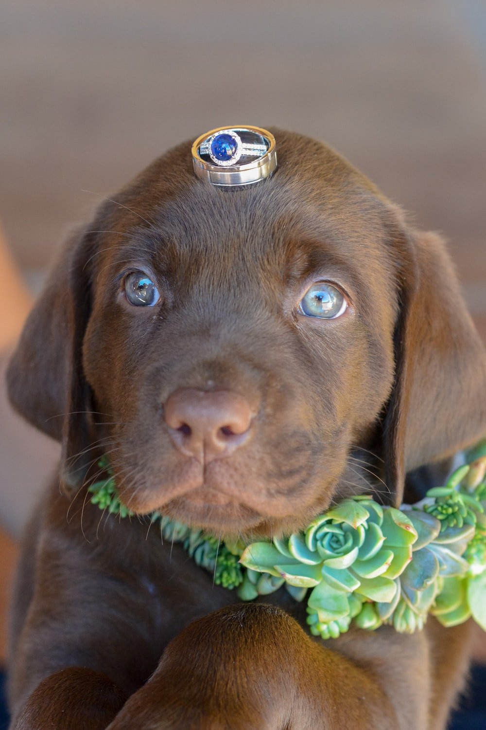 chocolate labrador retriever puppy with green and white flower on mouth