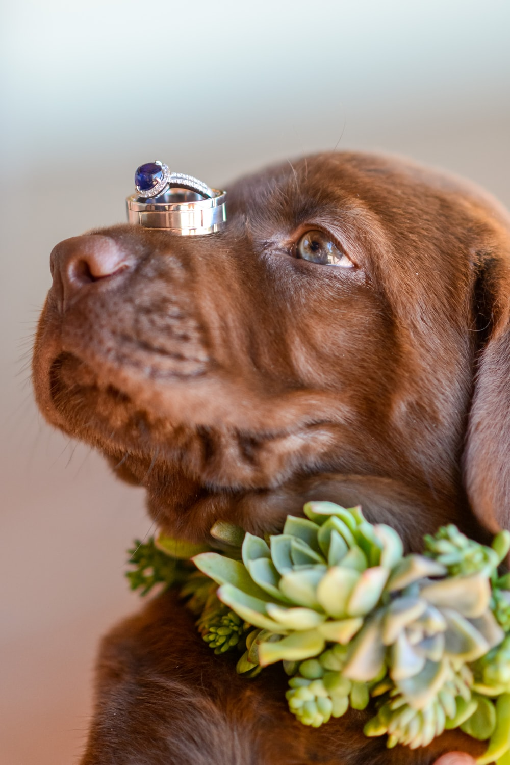 brown short coated dog with silver bell on mouth
