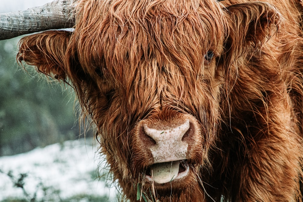 brown cow with white eyes