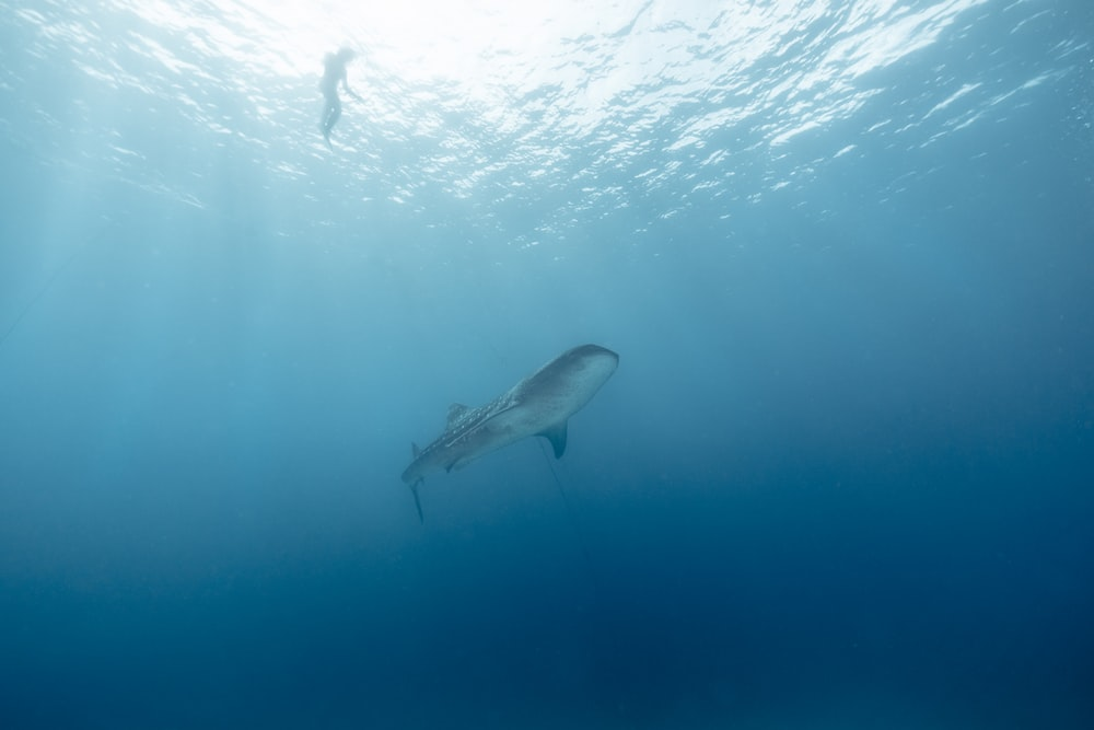 gray and white shark in water